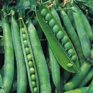 Pea Hurst Greenshaft - Early maincrop